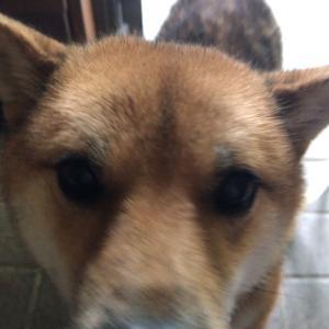 柴犬 シーバ君卒業犬になりました