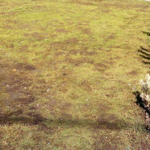 芝が見えてきた