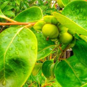 富有柿の実