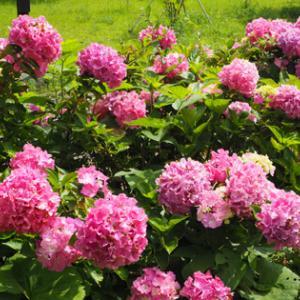 いつもの公園の紫陽花