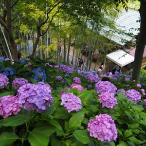 鎌倉~長谷寺の紫陽花