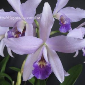 2鉢のレリアンセ リグレイ'オーキッドライブラリー' Lnt. Wigleyi 'Orchid library' BM/JOGA