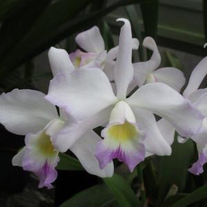 レリオカタンセ サンヨーエンジェル &多肉リプサスの花