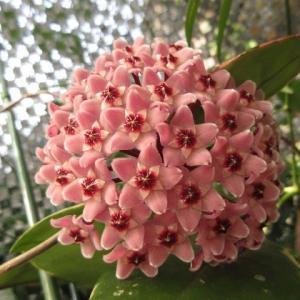 初花のホヤ(桜ラン)カルノーサ'リップカラー'咲きました