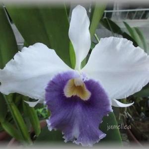 青花好きですトレニア&カトレア C.Phelps Blue Passion