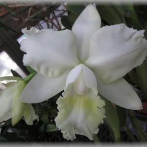 純白のカトレア ハワイアン ウエディングソング'バージン'