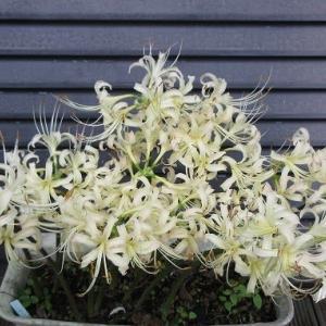 ヒガンバナ白花・ミルトニア江戸紫
