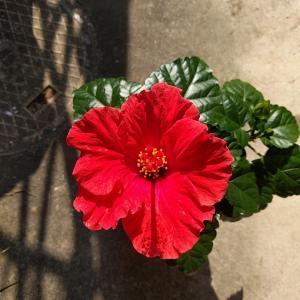 ハイビスカスの押し花