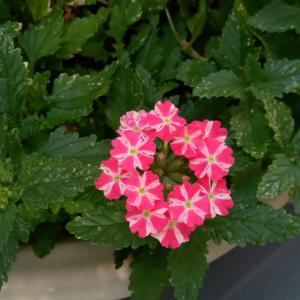 バーベナが再び咲きました