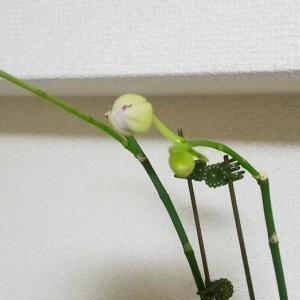 5月に買った胡蝶蘭
