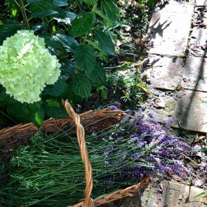 今日の庭 ラベンダー収穫