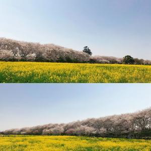 桜・サクラ・さくら~権現堂桜堤情報(3)