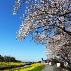 桜・サクラ・さくら~先週の市内桜情報 (3)