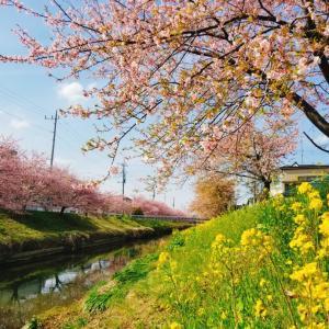 地元の桜が見頃です~♪
