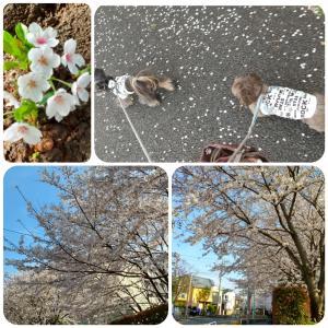 桜満開!(^^)!