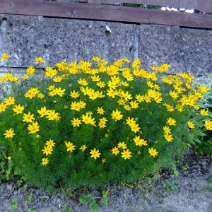 道路沿いの宿根草開花