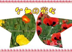 ケシの花々