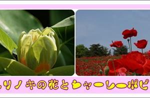 ユリノキの花とシャーレ―ポピー