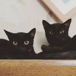 とある日の黒猫兄妹。『にいちゃん、みつかっちゃったよ?』By.雅ケージ強制撤去か...
