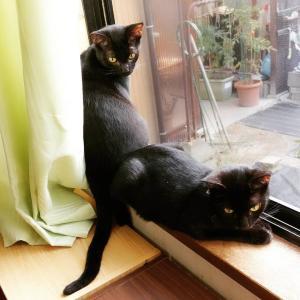 とある日の黒猫兄妹。仲良くニャルソック中ですよ。見えてるしっぽはどっちのかしら?...