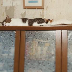とある日の智and幸。①  2匹仲良くどべーん!と寝てますよ。②  可愛すぎる...