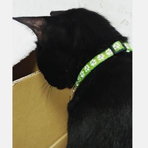 昨日の和。①  ジーッ。②  猫ちぐらを踏み台にしてダンボール箱の中を覗いてい...