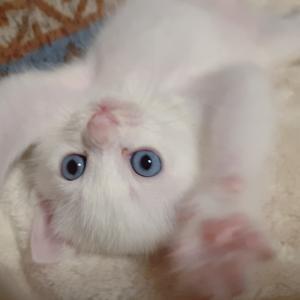 #白猫青目 #肉球つややか  今日は真珠記念日
