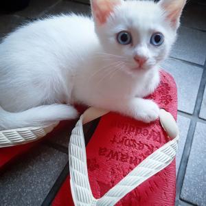 夏ねこ写真館 #白猫青目 & #でかねこ #シースルー
