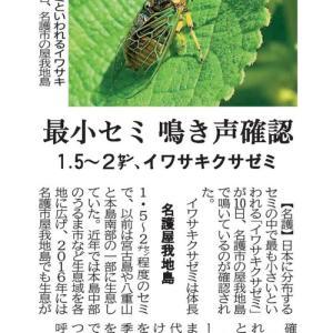 琉球新報にて「屋我地島で日本最小のイワサキクサゼミが鳴き始める」の記事が掲載!