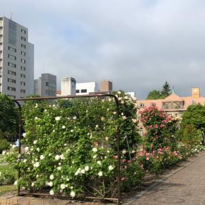 12丁目のバラ
