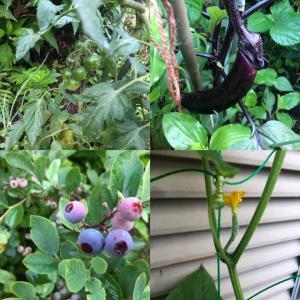 庭の野菜たちがもうすぐ収穫できそうです。