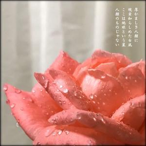 台風の中切ってきた庭のバラ