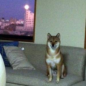 満月と可愛い柴犬さん♡癒された~♪