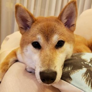 週末はシアワセ便りでほっこり~柴犬元パピー晴くん