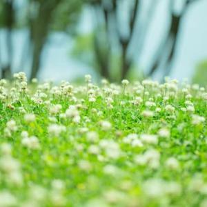 シロツメクサの咲く丘で