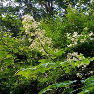 庭のヤマウド(山独活)の花が咲きました。