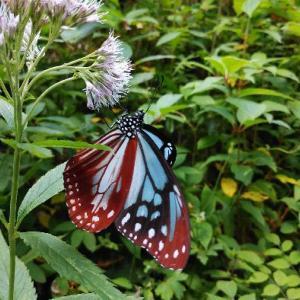 庭のアサギマダラ(浅葱斑)チョウ。
