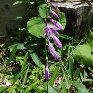 庭のコバギボウシ(小葉擬宝珠)が咲きました。