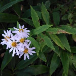 庭のノコンギク(野紺菊)の花が咲きました。