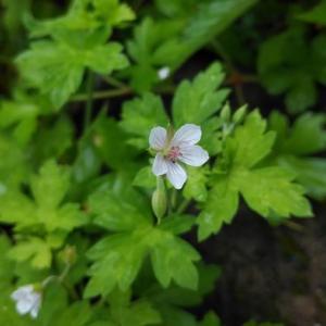 庭のゲンノショウコ(現の証拠)が咲きました。