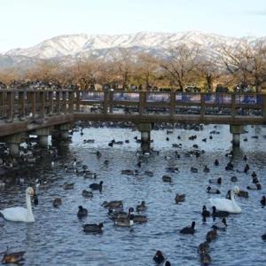 雪の新潟紀行、北越秋山郷を尋ねる旅ー36、白鳥を見に、瓢湖へ向かう。