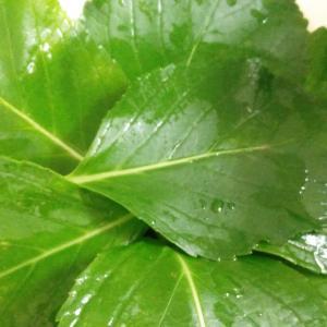 葉っぱだけで丸3か月生き続ける謎のアジサイ
