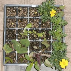 枝豆の発芽など