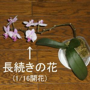 何時まで咲く花(胡蝶蘭)など
