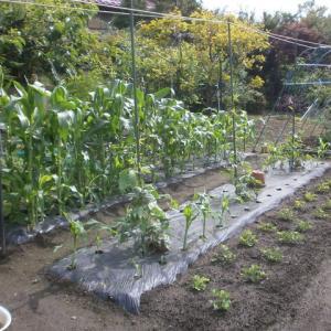 梅雨の合間の農作物