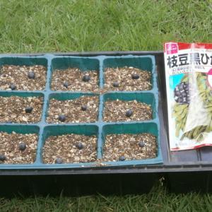 枝豆の最後の播種など
