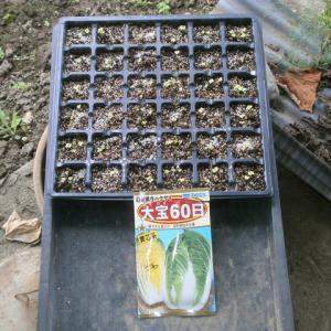 白菜の発芽など
