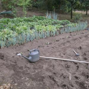 待望の雨で白菜の定植
