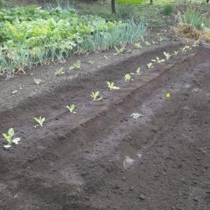 白菜の定植など