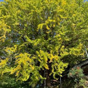 宝泉寺の大銀杏の木°˖✧◝(⁰▿⁰)◜✧˖°
